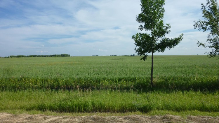 Controlling Perennial Weeds in Organic Production